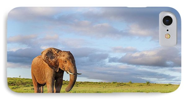 African Elephant In Open Grasslands IPhone Case by Peter Chadwick