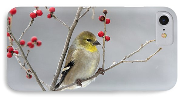 American Goldfinch In Winter IPhone Case by Scott Leslie