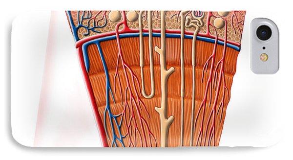 Anatomy Of Human Kidney Function Phone Case by Stocktrek Images
