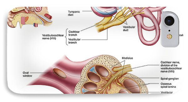 Anatomy Of The Cochlear Duct IPhone Case by Stocktrek Images