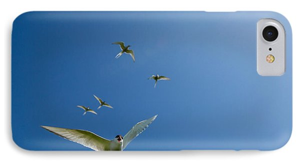Arctic Terns Sterna Paradisaea, Flatey IPhone Case