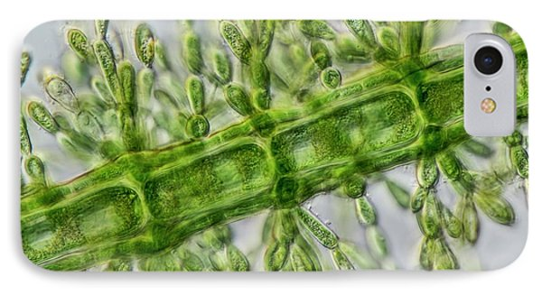 Batrachospermum Alga Filament IPhone Case by Gerd Guenther