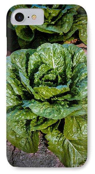 Butterhead Lettuce IPhone Case by Robert Bales