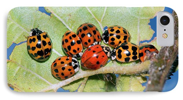 Hibernating Harlequin Ladybirds IPhone Case