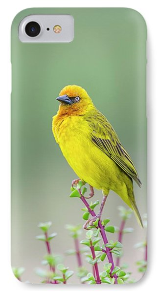 Male Cape Weaver IPhone Case by Peter Chadwick