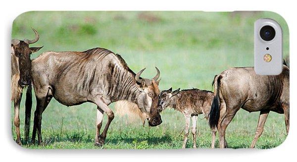 Newborn Wildebeest Calf IPhone Case by Panoramic Images