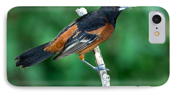 Orchard Oriole Icterus Spurius Adult IPhone Case by Anthony Mercieca