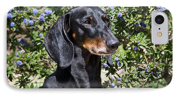 Portrait Of A Dachshund Standing IPhone Case