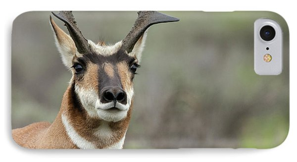Pronghorn Buck Showing Territorial IPhone Case