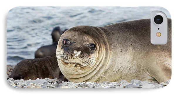 Southern Elephant Seal IPhone Case by Ashley Cooper