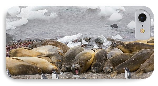Southern Elephant Seals IPhone Case by Ashley Cooper