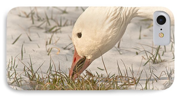 Wintering Snow Goose IPhone Case by Robert Frederick