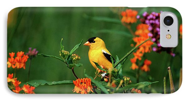 Finch iPhone 7 Case - American Goldfinch (carduelis Tristis by Richard and Susan Day