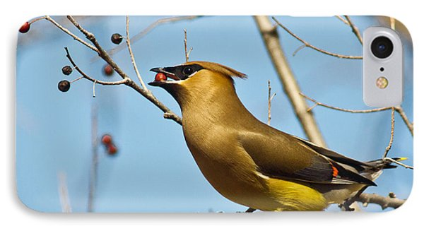 Cedar Waxwing With Berry IPhone Case by Robert Frederick
