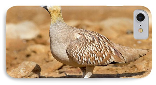 Crowned Sandgrouse Pterocles Coronatus IPhone Case by Photostock-israel
