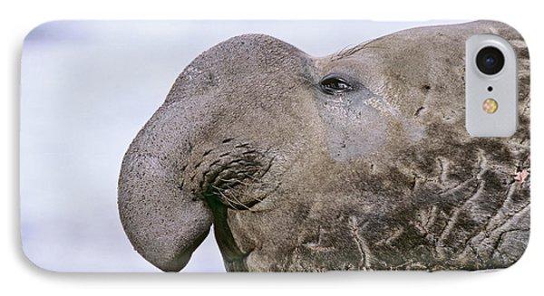Southern Elephant Seal (mirounga Leonina IPhone Case
