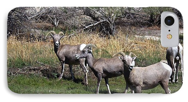 3 Bighorn Sheep In A Row IPhone Case by Renee Sinatra