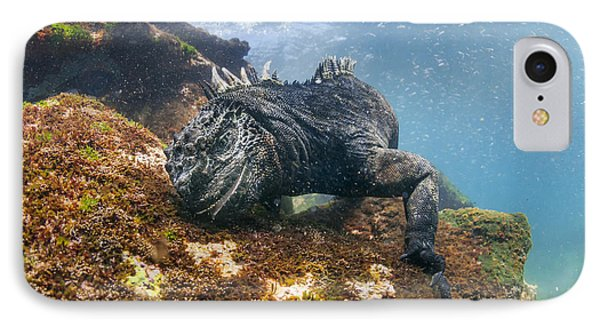 Marine Iguana Feeding On Algae Punta IPhone Case by Tui De Roy