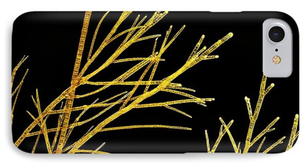 Sphacelaria Brown Alga IPhone Case by Gerd Guenther