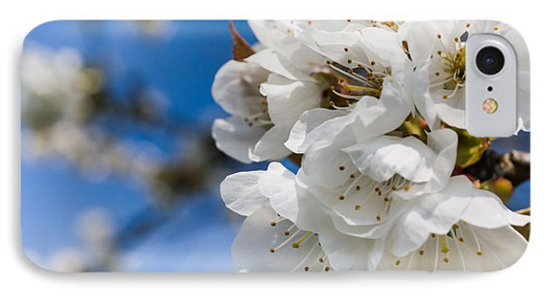 White Cherry Blossoms Blooming In The Springtime Phone Case by Nila Newsom