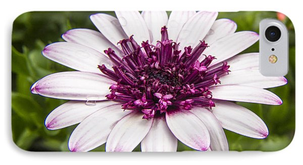 3d Berry White Cape Daisy - Osteospermum  IPhone Case by Darleen Stry
