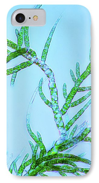 Draparnaldia Green Algae IPhone Case by Marek Mis