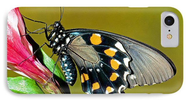 Pipevine Swallowtail Butterfly IPhone Case by Millard H. Sharp