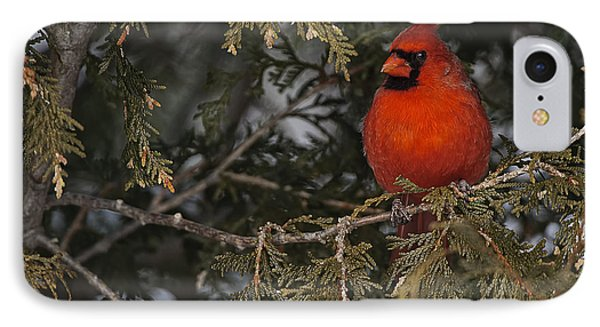Northern Cardinal IPhone Case