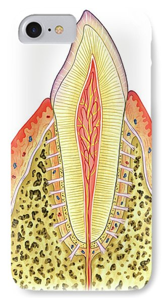 Structure Of Incisor Tooth IPhone Case by Asklepios Medical Atlas
