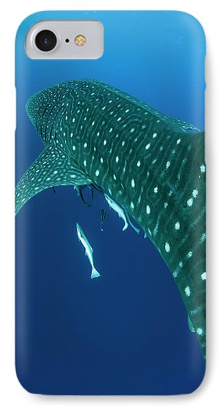 Whale Shark, Cenderawasih Bay, West IPhone Case by Pete Oxford