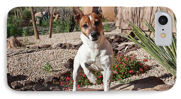 A Jack Russell Terrier Standing IPhone Case by Zandria Muench Beraldo