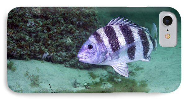 A Large Sheepshead Ruising The Bottom IPhone Case by Michael Wood
