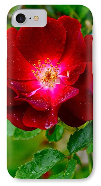A Rose Is A Rose Phone Case by Frozen in Time Fine Art Photography