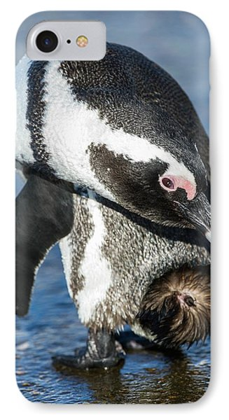 Adult African Penguin Preening IPhone Case by Peter Chadwick