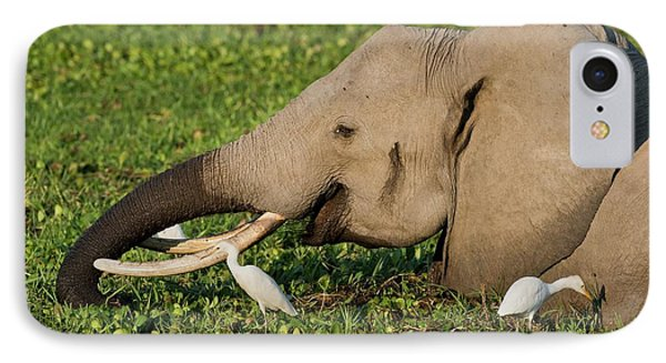African Elephant Feeding Alongside Egrets IPhone Case by Tony Camacho