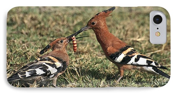 IPhone Case featuring the photograph African Hoopoe Feeding Young by Liz Leyden