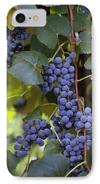 Agriculture - Concord Tablejuice Grapes IPhone Case