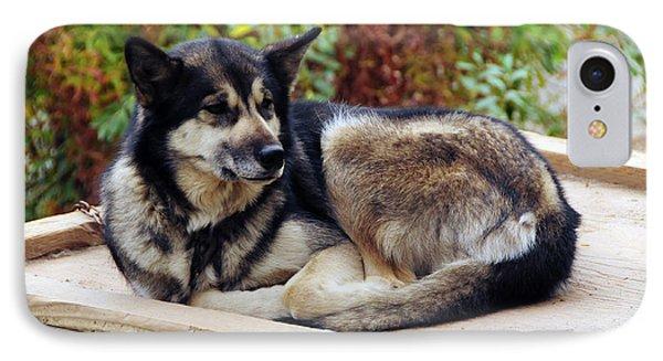Alaskan Husky, Denali National Park IPhone Case by Michel Hersen