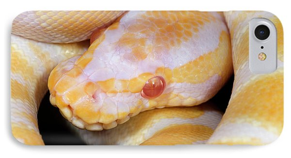 Python iPhone 7 Case - Albino Royal Python by Nigel Downer
