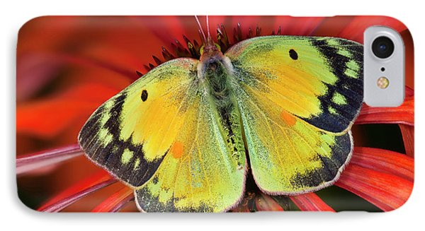 Alfalfa Butterfly On Cone Flower IPhone Case by Darrell Gulin