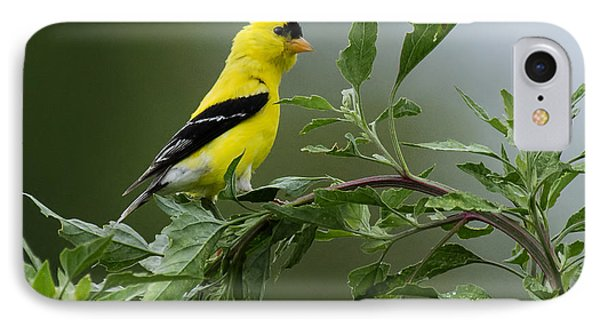 American Goldfinch Delight 2 IPhone Case by David Lester