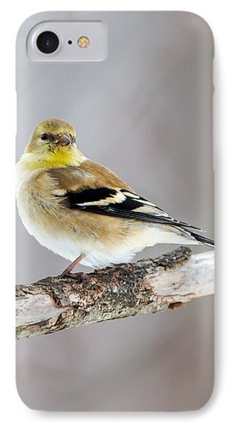 American Goldfinch Winter Plumage IPhone Case