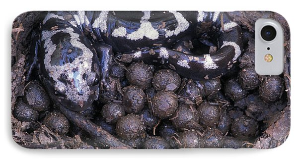 Salamanders iPhone 7 Case - An Endangered Marbled Salamander Nests by Peter Essick