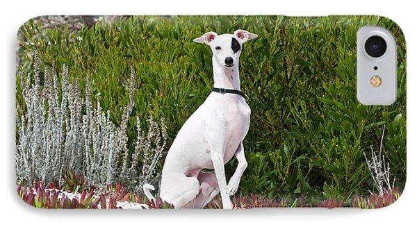 An Italian Greyhound Sitting IPhone Case by Zandria Muench Beraldo