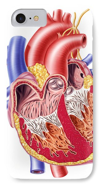 Anatomy Of Human Heart, Cross Section Phone Case by Leonello Calvetti