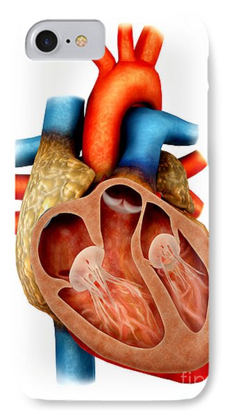Anatomy Of Human Heart, Cross Section Phone Case by Stocktrek Images