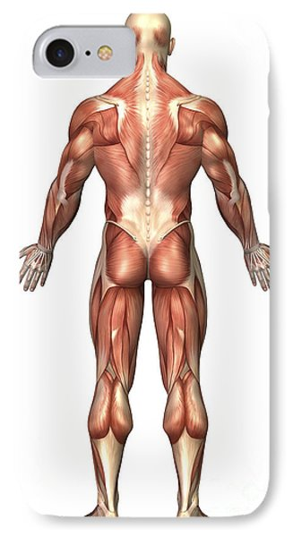 Anatomy Of Male Muscular System, Back Phone Case by Stocktrek Images