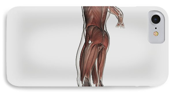 Anatomy Of Male Muscular System Phone Case by Stocktrek Images
