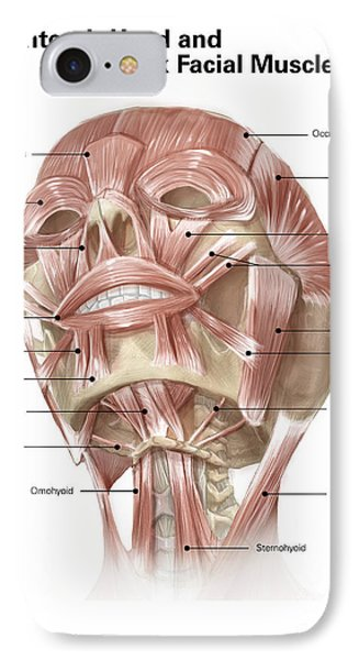 Anterior Neck And Facial Muscles IPhone Case by Alan Gesek