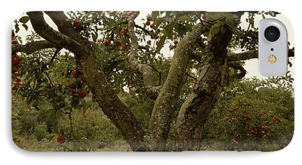 Apple Trees In An Orchard, Sebastopol IPhone Case